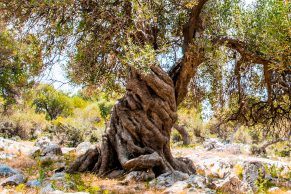 Walk - The Olive Gardens of Lun