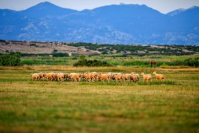 Food, Wine & Culture - Pag Cheese Road